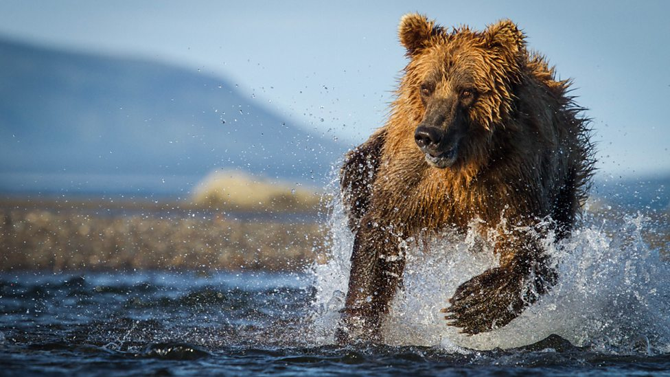 Brown Bear hunting for salmon in Alaska's Katmai National Park