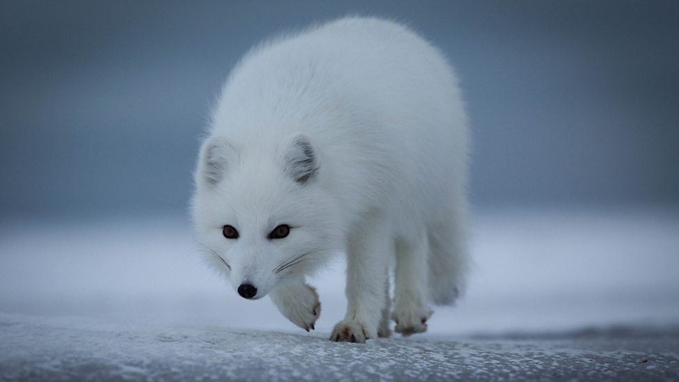 An Arctic Fox scours a frozen coast in search of anything edible