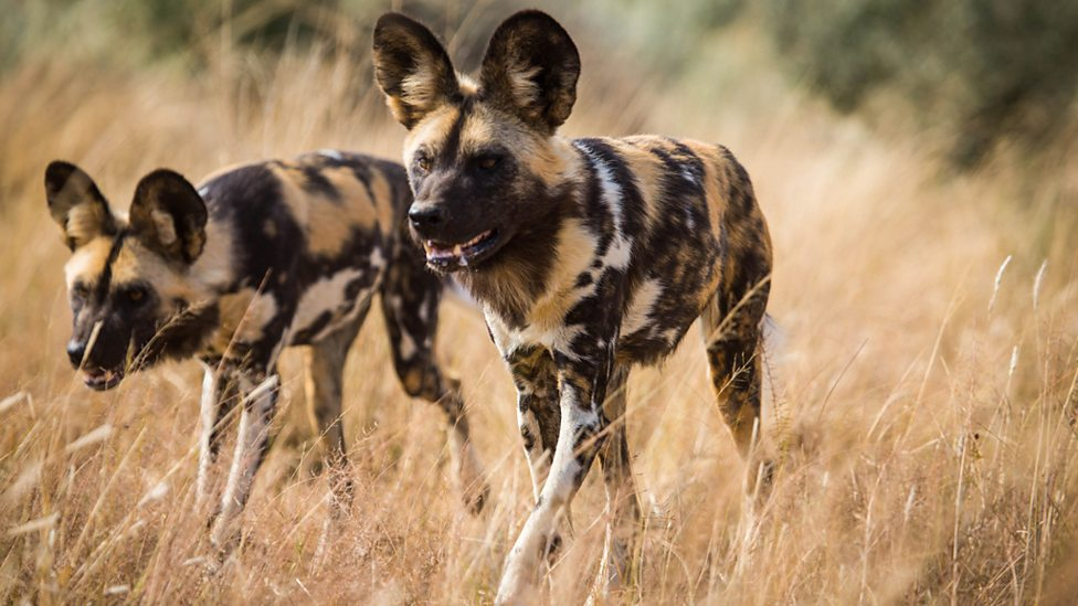 Pack hunters, African wild dogs