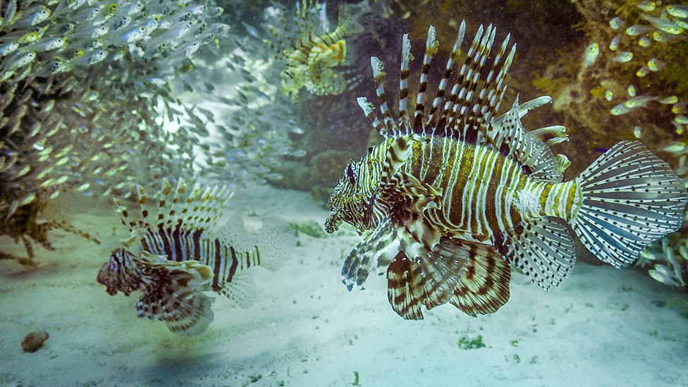The lion fish uses its flamboyant patterns and fins to disguise fine movements from its prey