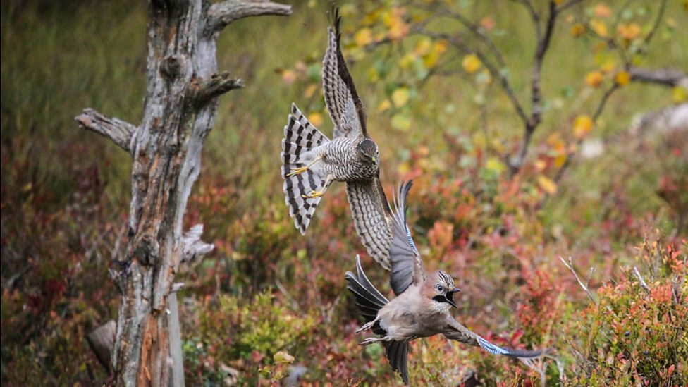 A fledgling sparrowhawk chases a jay in a woodland clearing in Autumn