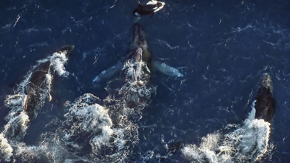 Two male humpback whales escort a mother and her calf up the coast of Western Australia