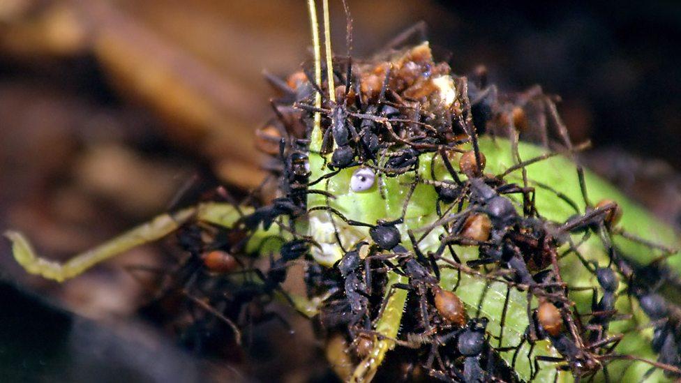 An army ant raid discovers a katydid hiding in the leaf litter