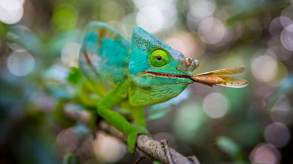 Male Parson's chameleon with insect prey - tropical forest, Andasibe, Madagascar