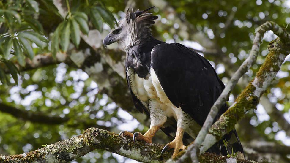 The harpy eagle is a monkey-eating eagle, with talons as long as a grizzly bear's claws