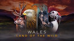 Wales: Land Of The Wild - secret scenes from wild Wales revealed in intimate detail for the first time