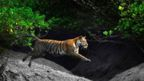 A Bengal tiger leaps across a creek in a mangrove forest in India
