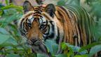 Tiger at Bandhavgarh National Park in Madhya Pradesh, India