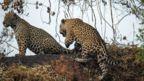 Two jaguars climb an embankment