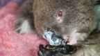 Koala injured in Kangaroo Island fires in January 2020 on a vet clinic bed