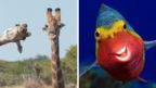 A composite image of a giraffe photo-bombing another giraffe and a smiley fish
