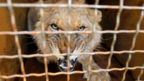 A lion cub is seen in a cargo terminal during their departure to South Africa from the Boryspil Airport, not so far from Kiev. Five lion cubs free hand over from Ukrainian the 'Safari' Zoo in Berdyansk to the Ubuntu Wildlife Sanctuary in South Africa. The Ukrainian zoo owners turned to the Lawrence Anthony Earth Organization Charity Fund, which is engaged in the rescue of wild animals from circuses and private zoos, with a request pass the lions to an animal shelter in South Africa, according organizers. Volunteers of the international organization The Lawrence Anthony Earth organization - Ukraine say that in this way they want to help renew the population of lions - predators are on the verge of extinction due to various epidemics and poachers, according to the media. In Africa, lions will live in a special rehabilitation centre, whose area is about 2 hectares adds media.