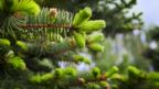 In Skagway, Alaska, spruce tips serve as currency