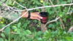 Hand holding a cup attached to a tree designed for mosquito surveillance